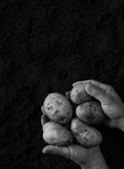recoger patatas
